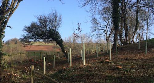 Tree planting by Silva Tree Surgeons