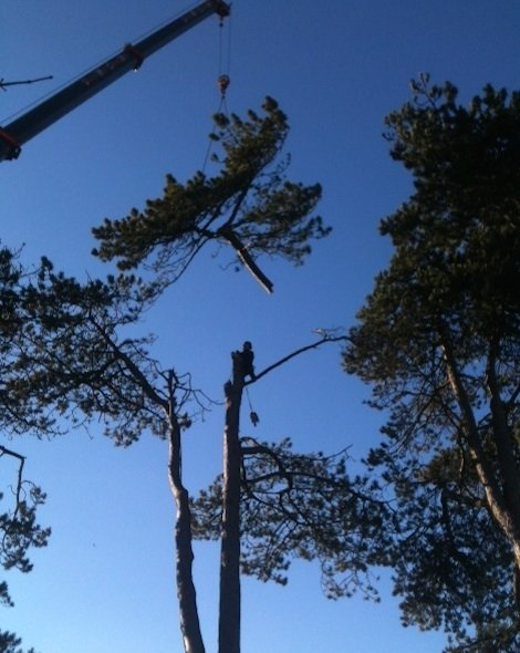Pine tree removal with crane